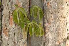 Signs of Spring (Judy Gayle) Tags: green leaves bark simplicity pfspring14