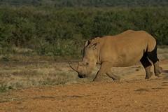 RSA_3493 - 2014-05-01 um 15-59-10 (C_Baltrusch) Tags: game reserve christian safari afrika botswana kalahari bigfive madikwe blackrhinoceros madikwegamereserve rhinozeros selfdrive breitmaulnashorn sudafrika baltrusch wildlifersa