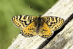 Spotted Fritillary - Meliteae didyma (GFCPhotography) Tags: butterfly spotted vercors fritillary didyma naturetrek melitaea derbyshirewildlife gfcphotography