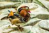 Mandarin Duck (erin.richardson7) Tags: zoo duck mn mnzoo tropicstrail