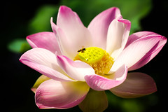 20130805_008 (Patrick Foto ;)) Tags: pink summer food lake plant flower color detail macro green nature water floral beautiful beauty animal closeup garden insect botanical fly leaf pond flora colorful waterlily lily close purple natural lotus blossom gardening background working culture fresh petal bee honey single tropical bloom environment aquatic pollen oriental float botany blooming