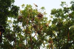 Nests at Heronry (Saleh Reza) Tags: bird ecology university disaster imaging ru rajshahi pakhi