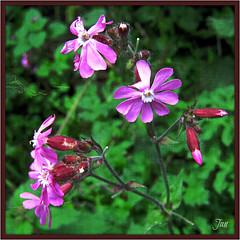 Red Campion (Jan 130) Tags: flower ngc npc wildflower countrywalk redcampion midlandsenglanduk
