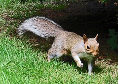 Blip 140701 (Daisy Waring World) Tags: garden lawn babysquirrel