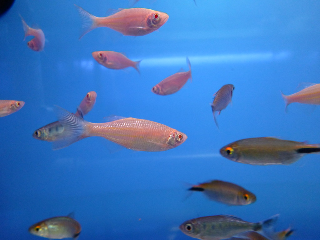 The world 39 s best photos of albino and pets flickr hive mind for Giant danio fish