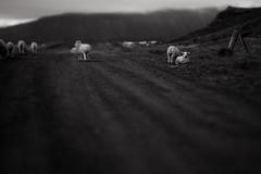 meeh. (Dalla*) Tags: white black animal iceland sheep kind meeh kindur fé ær wwwdallais