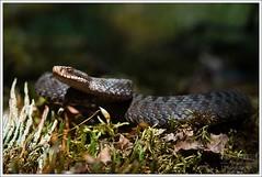Vipera berus berus (Thor Hakonsen) Tags: norway norge reptile snake nes rød orm adder venomous venom huggorm hoggorm slange akerhus viperaberusberus neskollen commonadder