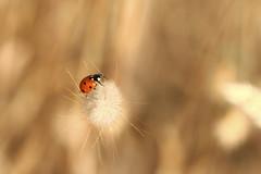 Coccinelle (Philippe POUVREAU) Tags: ladybug ladybeetle coccinelle coccinellidae saintbrévin paysderetz saintbrevinlespins