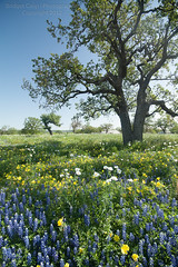 Pontotoc Wildflowers (Bridget Calip - Alluring Images) Tags: flowers trees usa season spring texas blossoms april wildflowers bluebonnets windblown 2012 lupines copyrighted texashillcountry pontotoc pricklypoppies ponotoc bridgetcalip