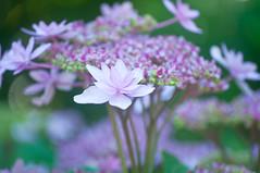 Tiny Hydrangea Fowers 2 of 3 (Orbmiser) Tags: flowers summer flower oregon portland bush nikon purple shrub d90 55200vr flickrselect