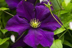Clematis Chevalier (Ian M Bentley) Tags: flower wall garden purple clematis climber darkblue