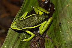 Epipedobates trivittatus (Frank Canon) Tags: peru insect reptile amphibian insecte pérou amphibien