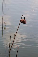 Anatt (tenjitsu71) Tags: travel japan kyoto lily buddhism identity anatta