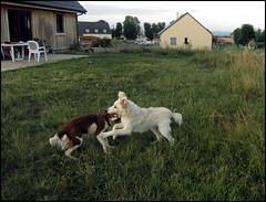 Iris et le jeune chien blanc