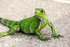 Green Iguana (2) (3M1L14N0) Tags: verde green america hotel venezuela south coche iguana margarita caribbean isla caribe isladecoche cocheparadise