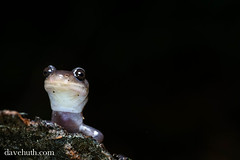Gray-cheeked Salamander (Plethodon montanus) (DaveHuth) Tags: leaves virginia amphibian salamander mountrogersnationalrecreationarea graycheekedsalamander plethodonmontanus taxonomy:binomial=plethodonmontanus mountrogerstrail