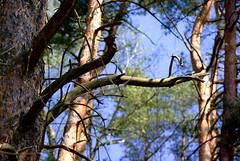 Górne Piętro 94 (Hejma (+/- 5200 faves and 1,6 milion views)) Tags: trees green nature spring poland polska natura naturereserve zielony wiosna drzewa niepołomice światłocień mixedforest rezerwatprzyrody lasmieszany chairscuro
