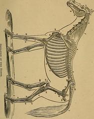 Anglų lietuvių žodynas. Žodis scapulo-humeral reiškia apatinis nugaros skausmas lietuviškai.