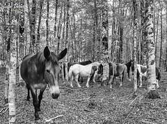 Cavalli (Dune-Buggy) Tags: bw horse white black wonderful image ivan e cavalli bianco nero stallone dunebuggy beber fantastiv