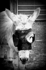 The Masked Donkey (EJ Images) Tags: uk portrait england bw horse slr monochrome animal animals blackwhite nikon norfolk donkey dslr equine eastanglia redwings 2014 nikonslr d90 nikondslr redwingshorsesanctuary horsesanctuary nikond90 equineportrait 18105mmlens donkeyportrait ejimages dsc0258c