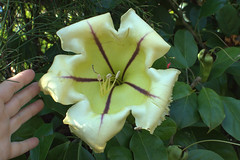 what a beauty! (Grenzeloos1) Tags: winter flower vine brisbane queensland huge grandiflora creeper 2014 solanaceae romastparklands solandra goldenchalice