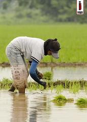Patanim 01 (Rice Planting) (ilusyonimages) Tags: street asian photography asia farm philippines farming images illusion filipino farmer ricefields ilusyon