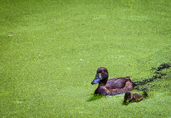 Algaenauts (oliyh - facebook.com/oliverhinephotography) Tags: london canal little pair large ducks regentscanal algae waterway duckweed challengegamewinner