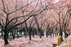 粉色走道 (Sean__YT) Tags: 櫻花 櫻 武陵農場 taiwan