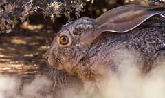 Scrub Hare (Lepus saxatilis) (George Wilkinson) Tags: scrub hare lepus saxatilis goegap nature reserve northern cape south africa canon 7d 400mm wildlife karoo desert mammal wild