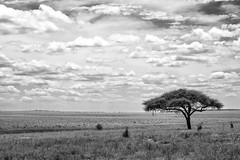 Tarangire National Park Photo Safari (virtualwayfarer) Tags: tarangirenationalpark tarangire nationalpark wildlife animals wild safari adventuresafari photosafari canon dslr decembersafari tanzania africa tanzanian blackandwhite blackandwhitephotography subsahara subsaharanafrica eastafricariftvalley riftvalley loneacacia loneacaciatree dramaticlandscape opensky wideopen nature natgeoinpsired nationalgeographicinspired alexberger safariphotos adventuretravel solotravel travelinspiration photographyinspiration