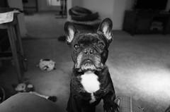 Impatient (Lainey1) Tags: bw monochrome oz ozzy dog frenchie bulldog lainey1 elainedudzinski frogdog zendog frenchbulldog ozzythefrenchie ricoh ricohgr