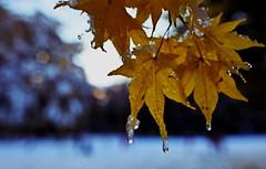 maruyama 347 (kaifudo) Tags: sapporo hokkaido japan maruyamapark earlywinter maple autumnleave bokeh 初冬 札幌 北海道 円山 円山公園 楓 nikon d750 nikkor 24mmf14ged 24mm kaifudo