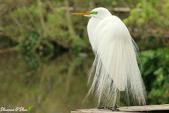 Now you're just showing off (Shannon Rose O'Shea) Tags: shannonroseoshea shannonosheawildlifephotography shannonoshea shannon greategret egret bird beak feathers lores breedingplumage white alligatorbreedingmarshandwadingbirdrookery gatorland orlando florida flickr wwwflickrcomphotosshannonroseoshea nature wildlife waterfowl outdoors outdoor water profile bokeh canon canoneos80d canon80d eos80d 80d canon100400mm14556lisiiusm fauna green rookery wild birdyfeet plumage plumes