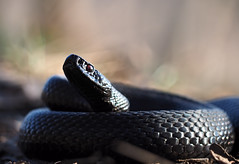 Black snake curled up in the ball and looking into the camera (mironenko1990) Tags: snake black grass aspis racer vipera rat dangerous reptile danger asp white viper nature wild indigo background venomous adder animal wildlife snakes predator poisonous venom eye big head poison