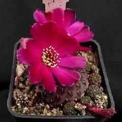 Sulcorebutia rauschii WR289 '168' (Pequenos Electrodomésticos) Tags: cactus cacto flower flor sulcorebutia sulcorebutiarauschii sulcorebutiarauschiiwr289