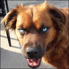 """ OMG.. Those Eyes !! "" (KLF & JRN) Tags: kjphotography goldenretriever siberianhusky blueeyeddog pointynoseddogs smileofadog blue brantford pet dog animal dogtongue interestingdogposes"