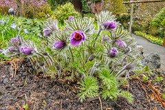 Spring-flowering Pasqueflower💐 (Dee Woodhead) Tags: spring fujifilm xt1 deewoodhead pasqueflower flower flowers purple green butchartgardens victoria canada explore