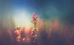 Dreamy Nature (Dhina A) Tags: sony a7rii ilce7rm2 a7r2 diaplan 100mm f28 bokeh circle bubble projector projection lens trioplan dream dreamy nature plant heather meyeroptik gorlitz