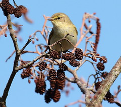 Chiffchaff Looking for Lunch. (rolywellscolyer2011) Tags: hey already left us we will see them until late october