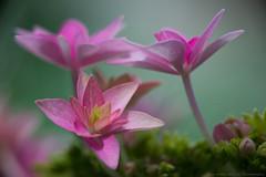 Hortensia (Pietrus13) Tags: nikond610 m42 macro flora garden nature spring flowers czj sonnar 135 f4 bokeh czjsonnar135f4
