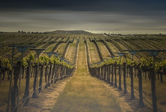 Vineyard - Paso Robles (Kevin_Stewart) Tags: pasorobles winecountry vineyards grapes wine californiaagriculture