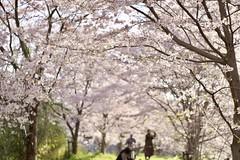 sakura2017 (so1low_at_tan5) Tags: 桜並木 takumar55mmf18 xe1