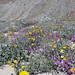 Wildflowers at Anza Borrego Desert State Park
