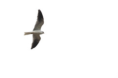 White-tailed Kite (J.B. Churchill) Tags: birds costarica heredia hotelbougainvillea places taxonomy santodomingo cr