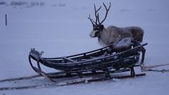 Reindeer 1 (onryzc1) Tags: norveç norway snow sledding