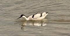 Avocet (Ratsiola) Tags: birds beauty beautiful water black white waders stilts recurvirostraavosetta nature wildlife