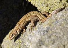 Viviparous lizard  (1) (Simon Dell Photography) Tags: viviparous lizard common uk wild wildlife nature reptiles longshaw estate peak district national park nt trust moors valleys landscape views spring summer simon dell photography 2017 big moor macro awsome cute small tiny orange green xxx sheffield old new sd