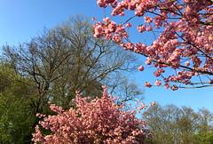 Bloeiende japanse kerselaars in Leuven (Kristel Van Loock) Tags: lente2017 leuven bloeiendekerselaars japanse kerselaars japansekerselaars japanesecherrytrees cherrytreesblossom blossoms bloesems blossom pink drieduizend leveninleuven lovanio louvain lovaina löwen spring springtime springflowers blooming oudebaan oudebaanleuven primavera printemps lente springisintheair springishere pinkcherrytreeblossoms visitleuven atleuven seemyleuven rozebloesems flemishbrabant visitflemishbrabant visitbelgium fiandre flanders flandre spring2017 ciliegiogiapponese