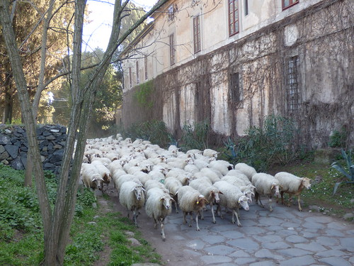 Rome - via appia antica, sheep (2)