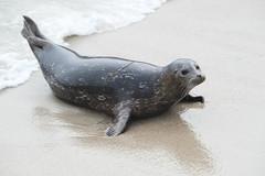 Young Harbor Seal. (LisaDiazPhotos) Tags: la jolla cove lisadiazphotos san diego young harbor seal